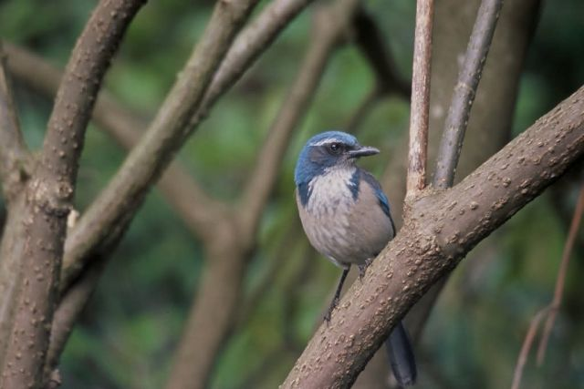 Scrub Jay, Western Picture