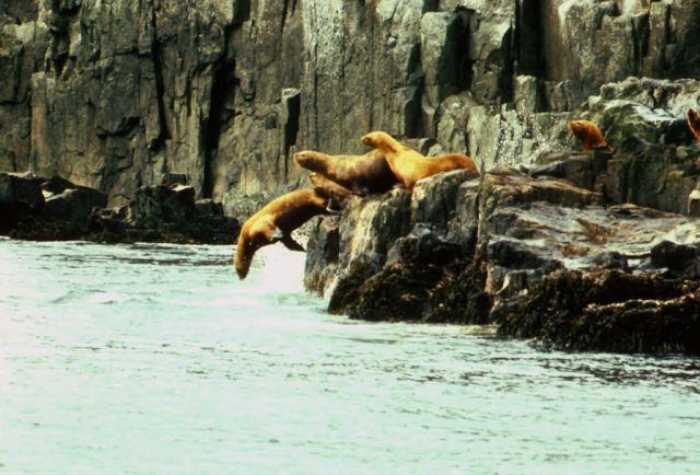 Sea Lions Picture