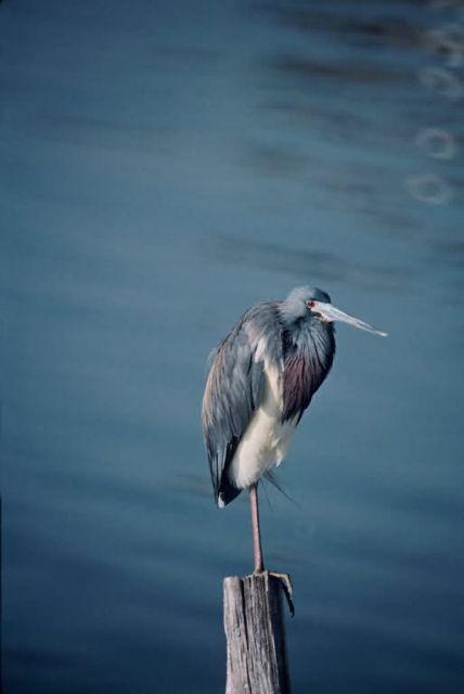 Tri-colored Heron Picture