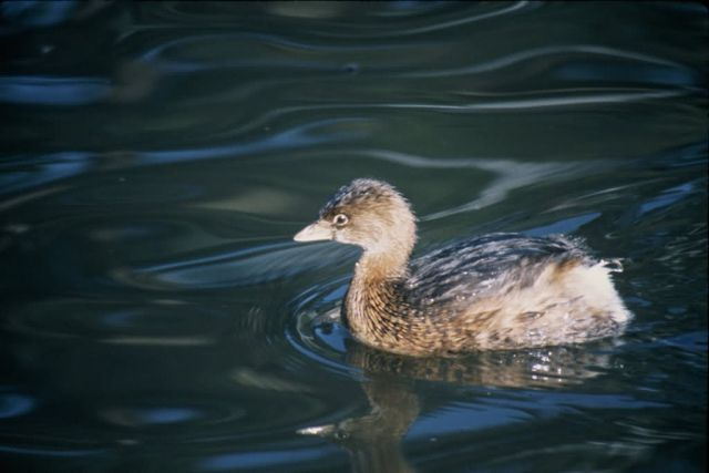 Pied-billed Grebe Picture