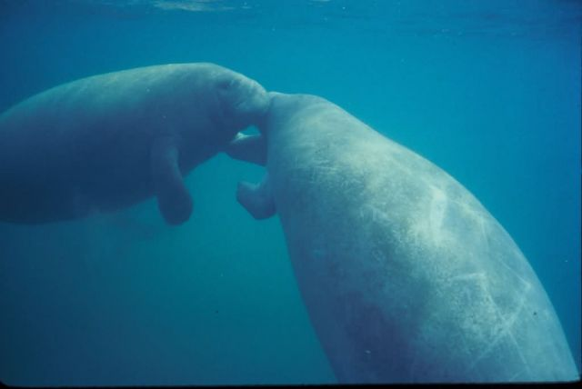 Manatees Kissing Picture