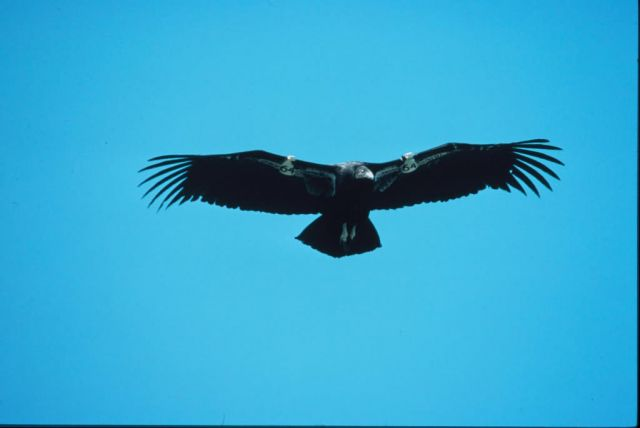 Juvenile California Condor Picture