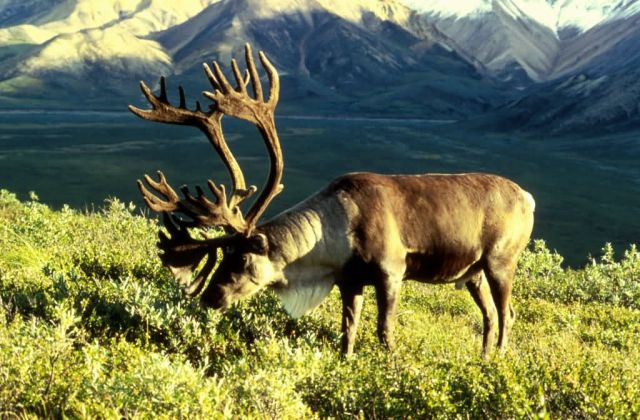 Caribou Picture