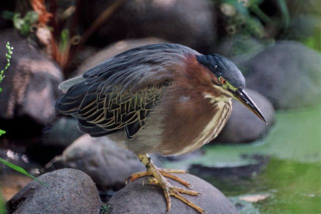 Green-backed Heron Picture