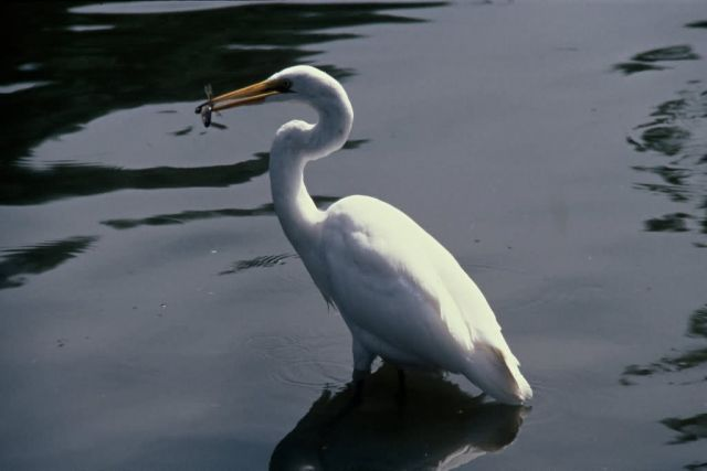 Great Egret Picture