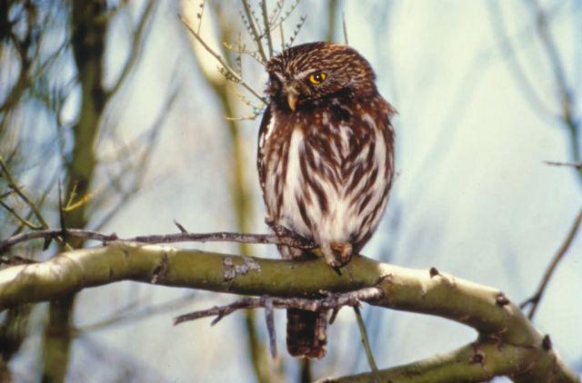 WO8737 Cactus Ferruginous Pygmy Owl Picture