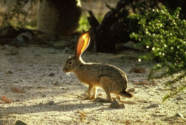 Black-tailed Jackrabbit Picture