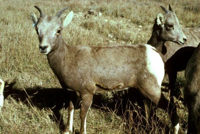 Desert Bighorn Sheep Ewe Picture