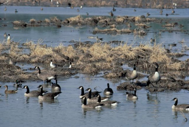 Canada Geese Picture