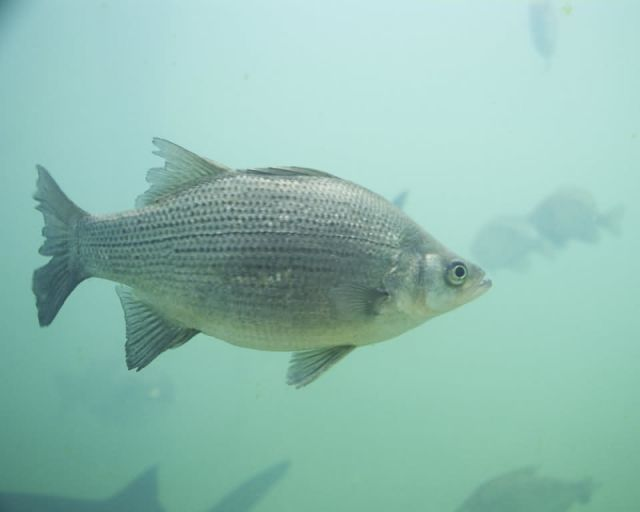 White Bass Picture