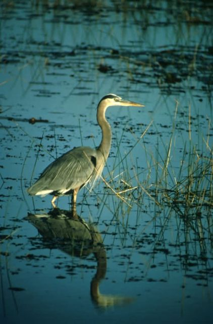 Heron Picture