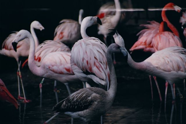 Flamingos Picture