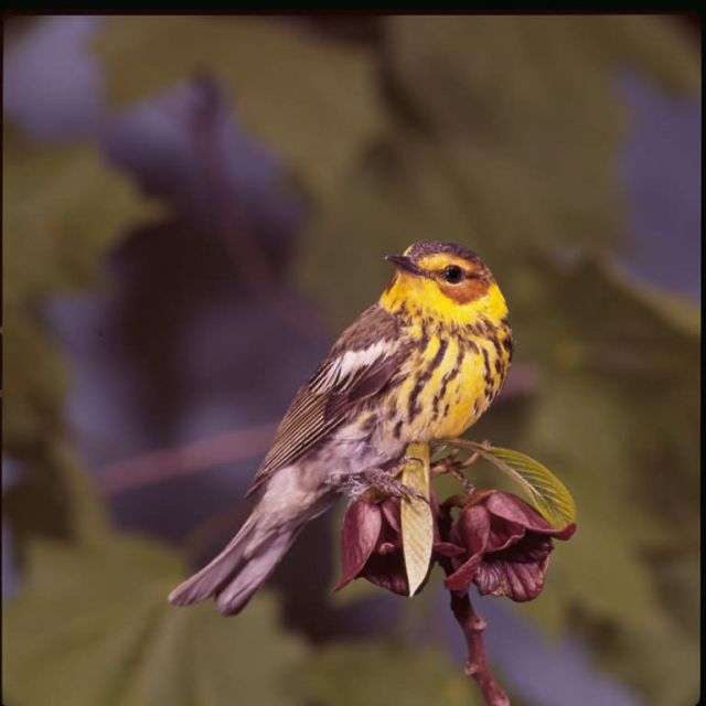Warbler Capemay Picture