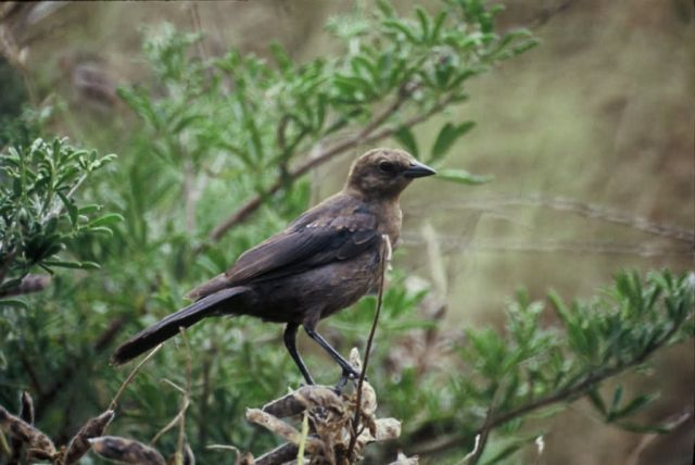 Brown-headed Cowbird (Female) Picture