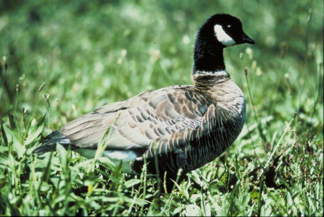 Aleutian Canada Goose Picture