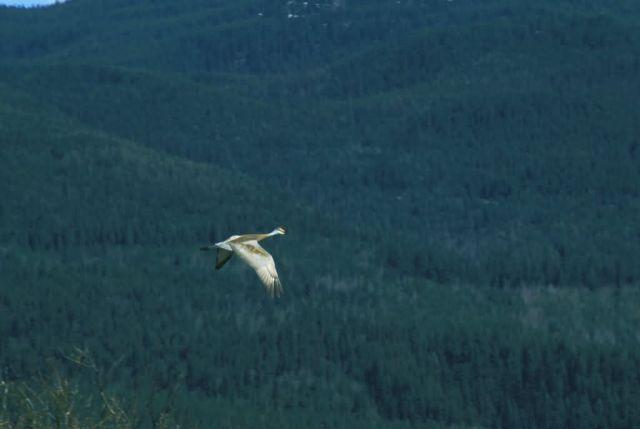 Sandhill Crane Picture