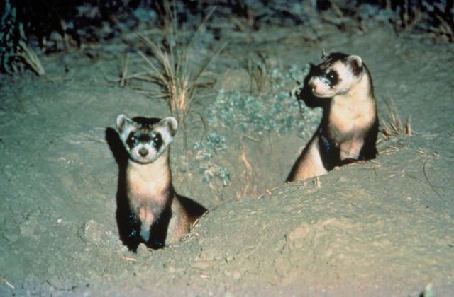 Black-footed Ferrets Picture