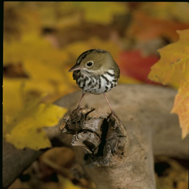 Ovenbird Picture