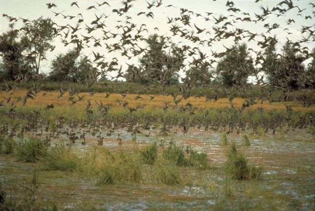 Ducks and Wetland Habitat Picture