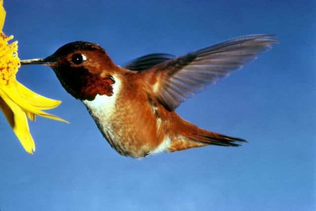 Rufous Hummingbird Picture
