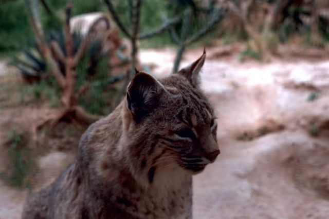 Bobcat Picture