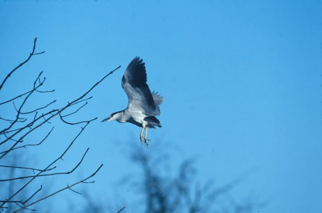 WO831 Black Crowned Night Heron Picture