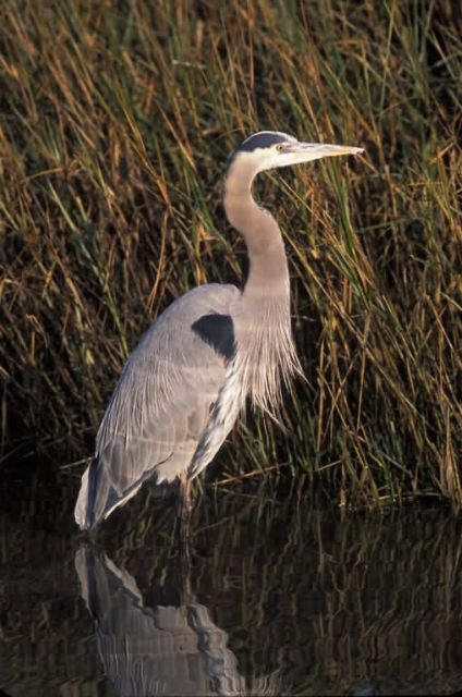 WO902 Great Blue Heron Picture