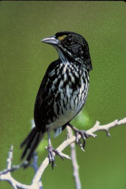 Dusky Seaside Sparrow Picture