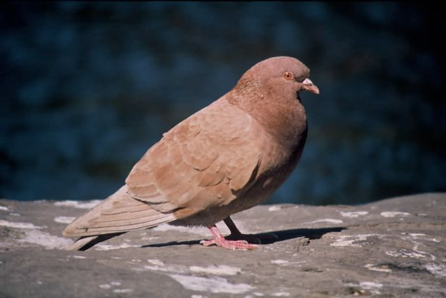Rock Dove (Pigeon) Picture