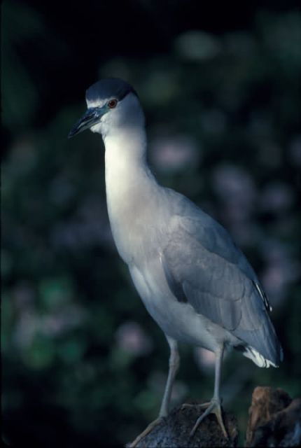WO1823 Black Crowned Night Heron Picture