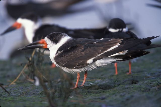 WO2622 Black Skimmer Picture