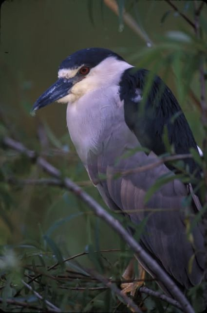 WO3279 Black Crowned Night Heron Picture