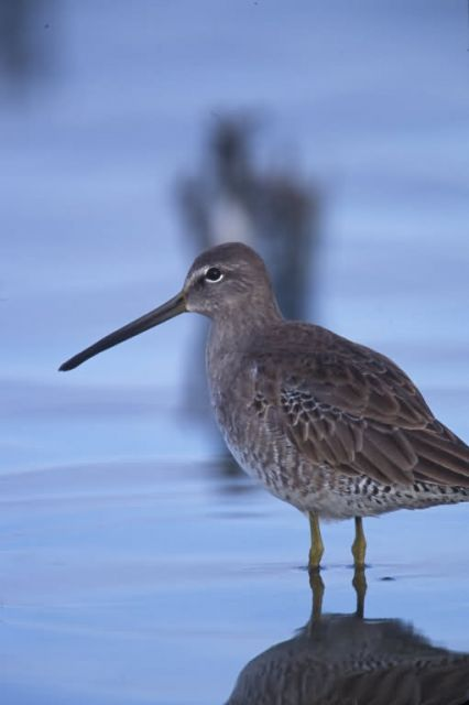 WO4040 Long-billed Dowitcher Picture