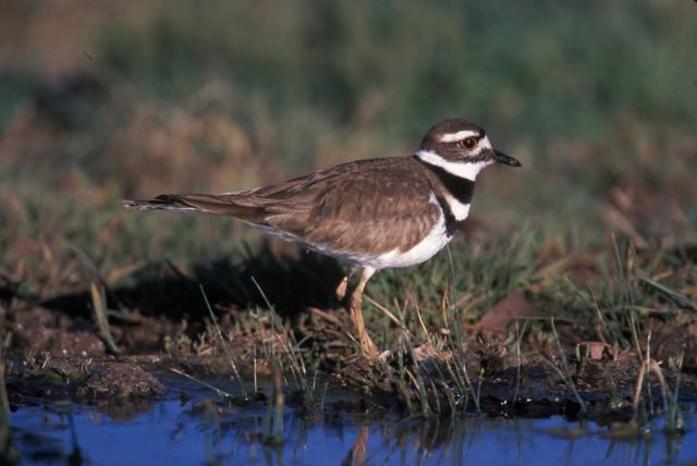 WO4002 Killdeer Picture
