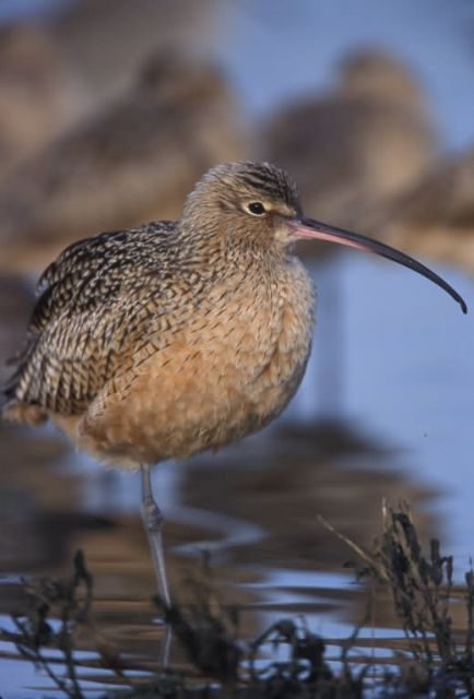 WO4014 Long-billed Curlew Picture