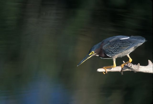 WO3990 Green Heron Picture