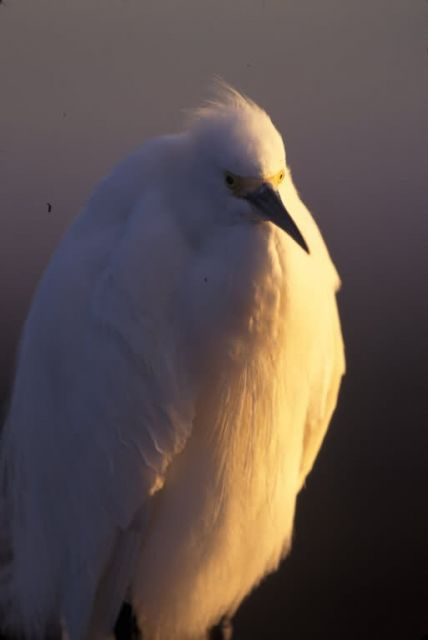 WO4119 Snowy Egret Picture