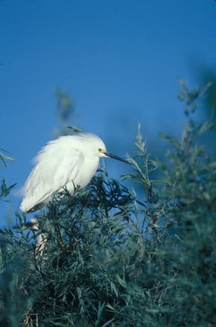 WO4192 Snowy Egret Picture