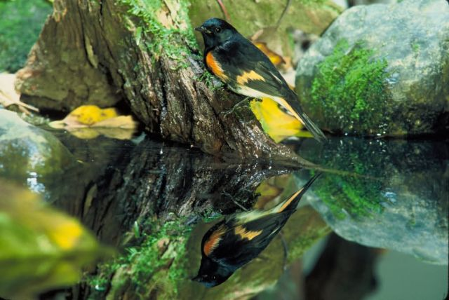 American Redstart Picture