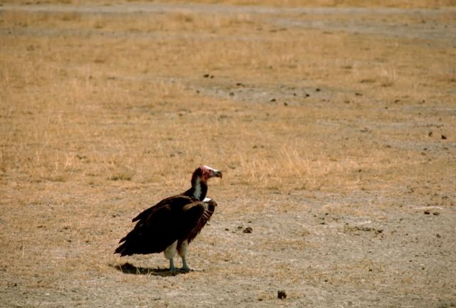 Nubian Vulture Picture