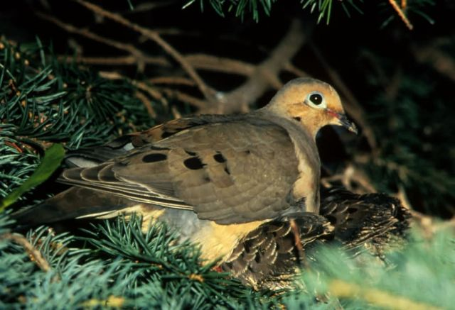 Mourning Dove and Young Picture