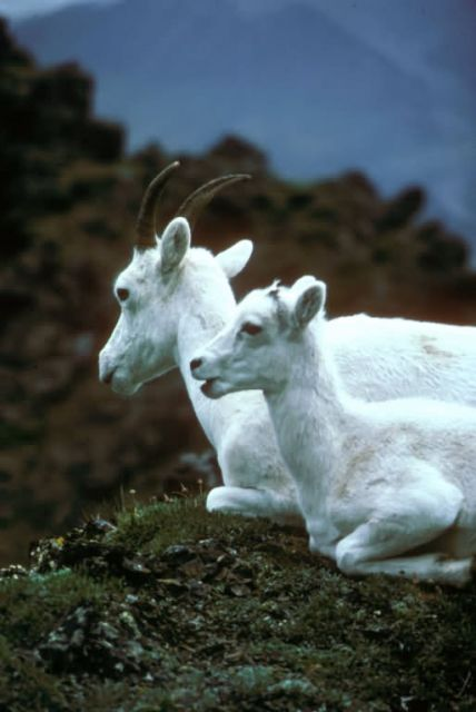 Dall Sheep-Ewe and Lamb Picture