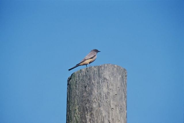 Say's Phoebe Picture