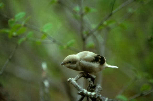 Northern Shrike Picture