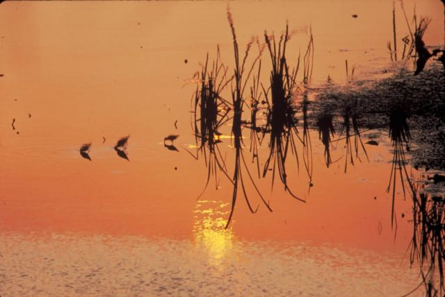 Sandpipers in the Sunset Picture