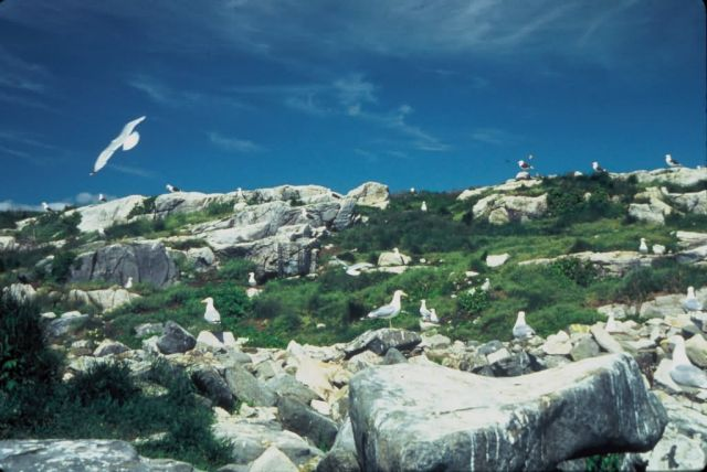 Gulls on Isle of Shoals Picture