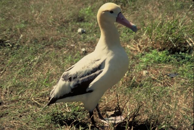 Short-tailed albatross Picture