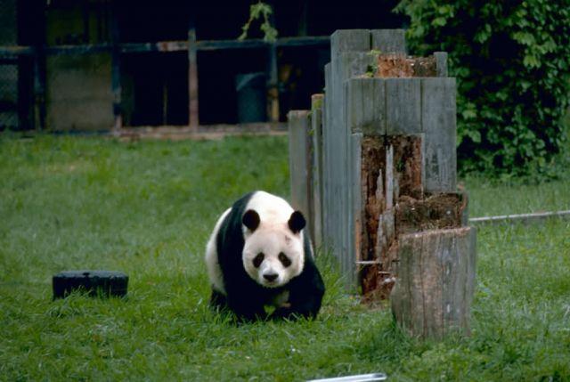 Gaint Panda Picture