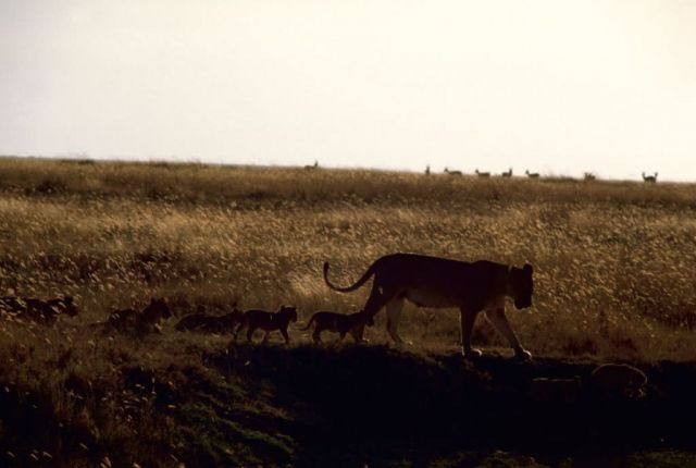African Lions in Sunset Picture