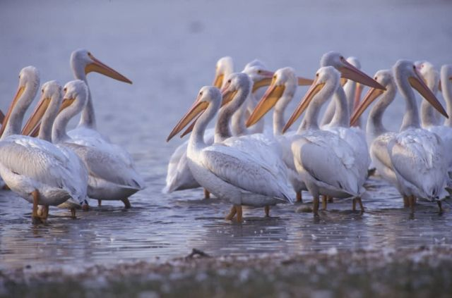 WO4201 White Pelican Picture